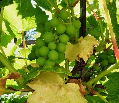 Grapes, Wine, Fruit, Winegrowing, Vine, Grapevine