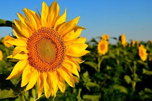 Sunflower, Yellow, Flower, Nature, Summer, Bloom