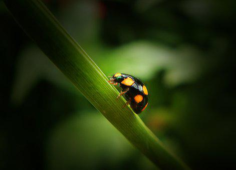 Ladybug, Coleoptero, Beetle, Insect, Coquito, Animals