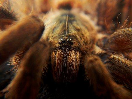 Spider, Tarantula, Web, Arachnid, Arachnophobia