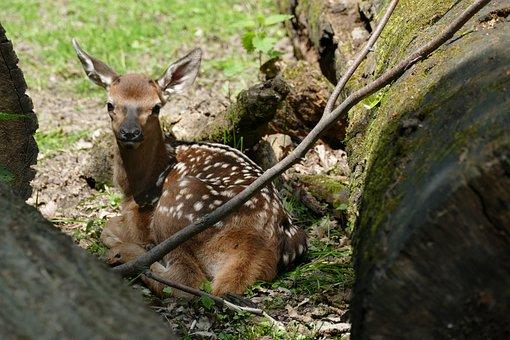 Roe Deer, Fasanerie, Wiesbaden, Fawn, Baby Animal