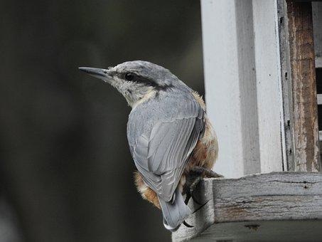 Bird, Kleiber, Nature, Garden, Animal World, Bill