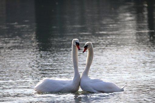 Swans, Bird, Nature, Water Bird, Plumage