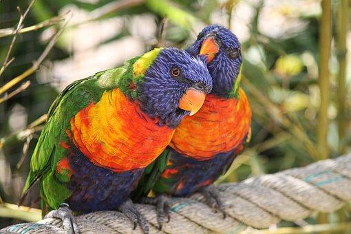 Parrots, Allfarbloris, Trichoglossus Rainbow, Bird