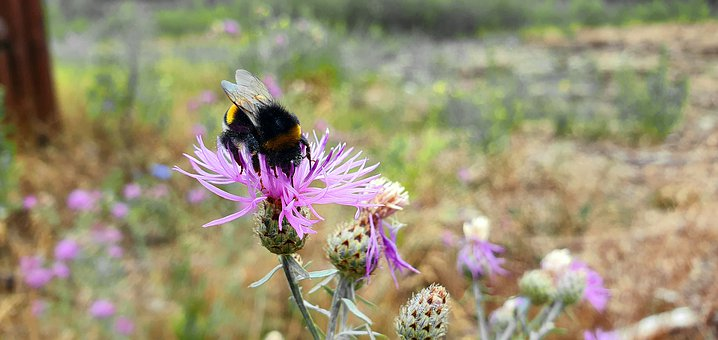 Bumblebee, Bittern, Insect, Summer, Macro, Thistle