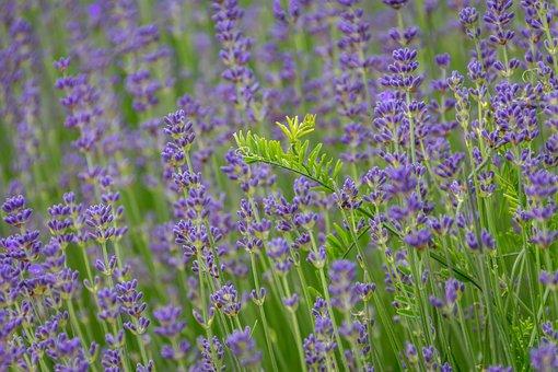 Lavender, Field, Blue, Purple, Green, Nature, Plant