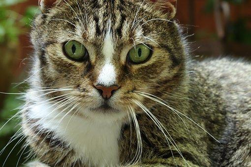 Cat, Domestic Cat, Pet, Mackerel, Cat Face, Cat's Eyes
