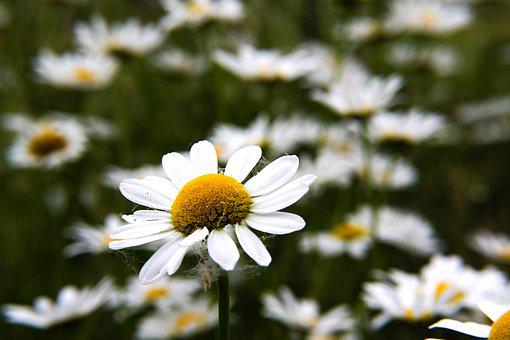 Flowers, Daisy, Ox-eye Daisy, Dog Daisy, Bloom, White