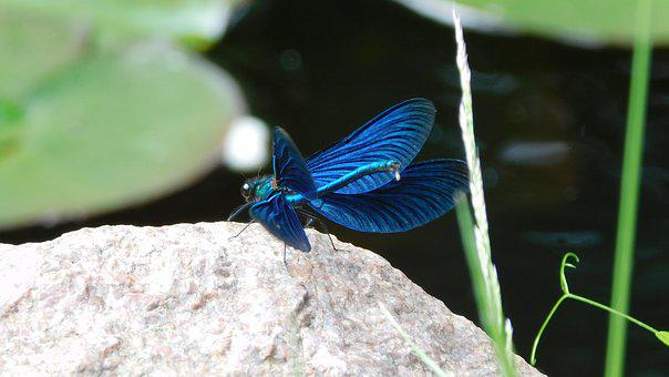 Dragonfly, Insect, Pond, Animal, Flight Insect, Shiny