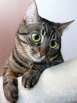 Cat, Eyes, Large, Animal, Pet, Portrait, Face, View