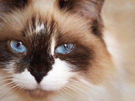 Cat, Eyes, Breed, Blue, Furry, Warm, Favorite, Pet