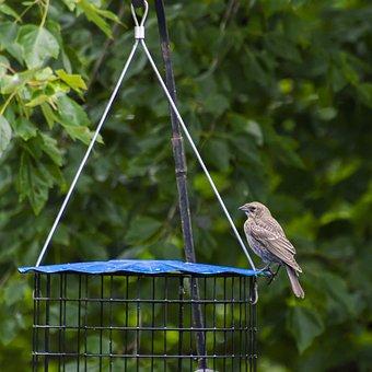 Cowbird, Female, Brown-headed, Brown, Bird, Perch
