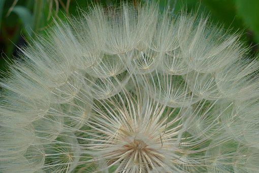 Dandelion, Filigree, Pointed Flower, Flying Seeds