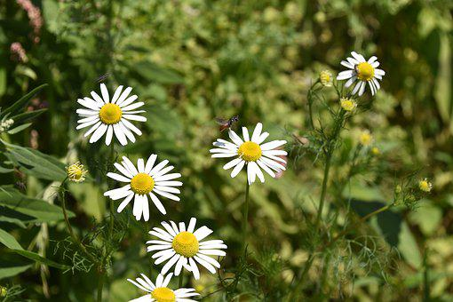 Flower, Daisies, White Petals, Insects, Color White