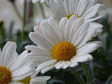 Daisies, Flowers, Margaretki, Garden, Summer, White