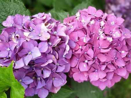 Flowers, Hydrangea, Nature, Plants, Garden, Summer
