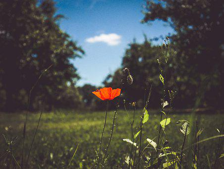 Flower, Only, Poppy, Red, Nature, Plants, Flowers
