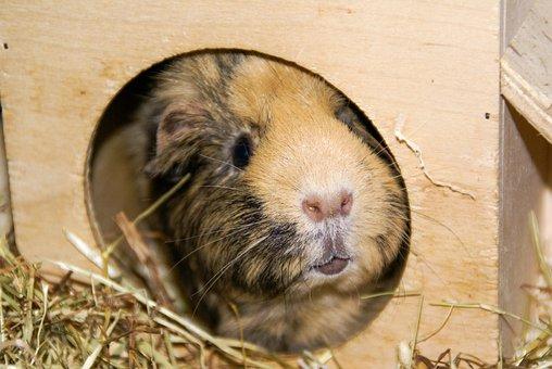 Animal, Hamster, Nager, Pretty, Mammal, Pet, Mouse, Fur