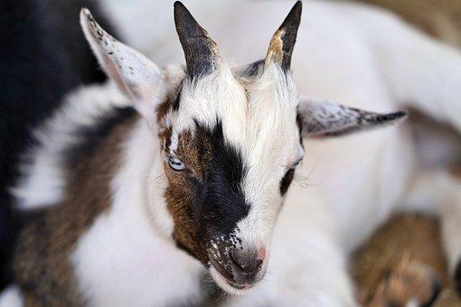 Baby, Goat, Cute, Mammal, Goats, Livestock