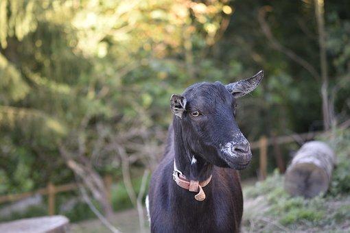 Goat, Goat Motte, Ruminants, Goat Nemo, Nature, Mammal