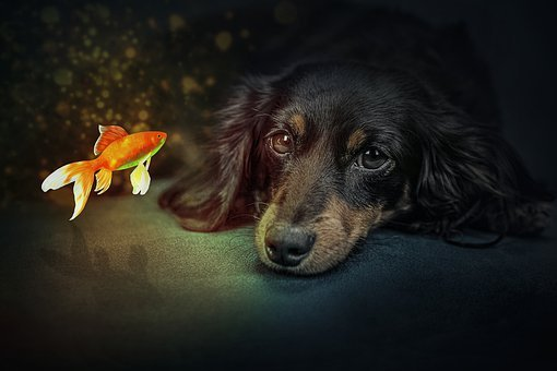 Manipulation, Dog, Puppy, Pet, Goldfish Fish, Gold