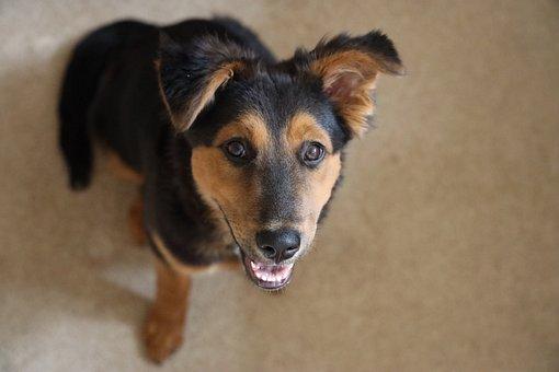 Aussie, Mix, Puppy, Happy, Cute, Dog