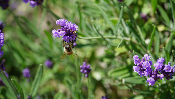 Honey Bee, Insect, Honey, Bee, Lavender, Flowers