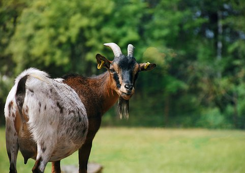 Goat, Animal, Mammal, Horns, Animal World, Cattle, Farm