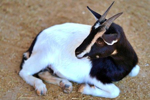Goat, Horns, Zoo, Ruminant, Horn