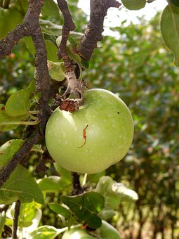 Apple Tree, Apple, Fetus, Summer, Immature, Fruit