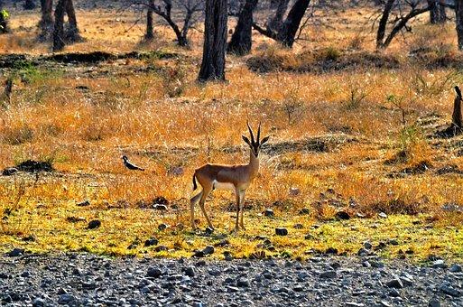 Deer, Forest, Ranthambore, India, Nature, Wild, Mammal