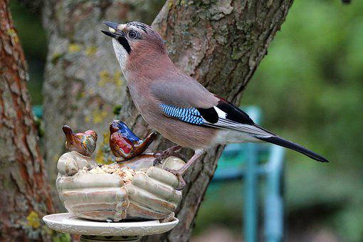 Jay Likes Nuts, Acorns, And Other Goodies