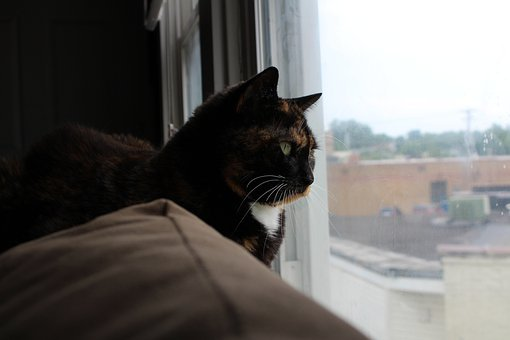 Cat, Calico, Window, Feline, Animal, Kitty, Kitten