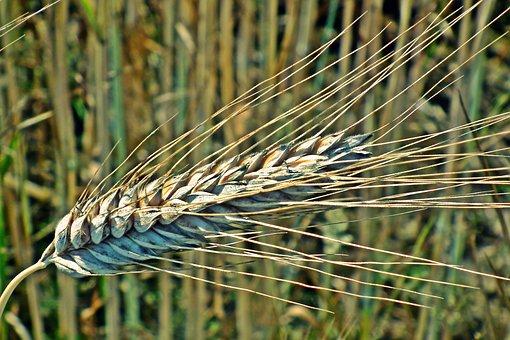 Corn, Kłos, Summer, Field, Agriculture, Harvest