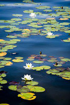 Lake, Lily, Bloom, Water, Nature, Blossom, Pond, Flower