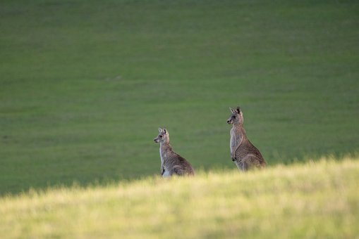 Eastern Grey Kangaroo, Kangaroo, Marsupial, Mammal