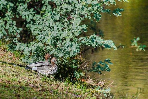 Australian Wood Duck, Maned Duck, Duck, Waterbird