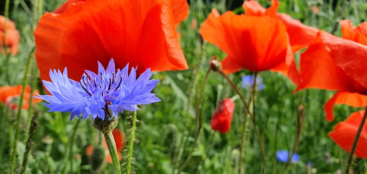 Cornflower, Poppies, Flower, Meadow, Summer, Plant