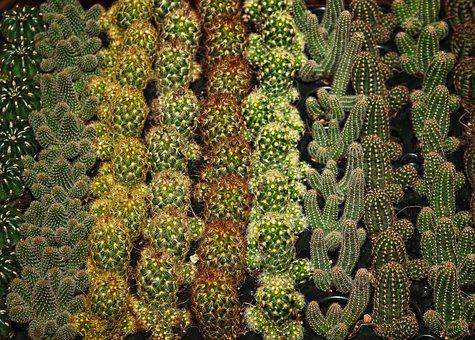Cactus, Sting, Plant, Prickly, Green, Nature, Flora