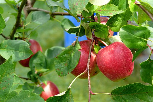 Apple Tree, Red Apple, Nature Garden, Apple, Sun, Fruit