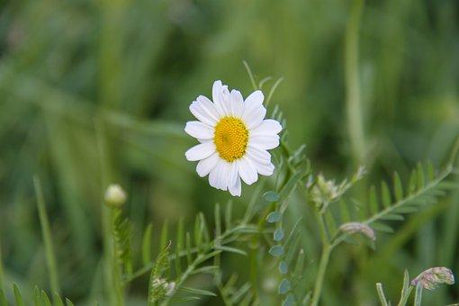 Marguerite, Flower, Summer, Nature, Prairie, Fleuri