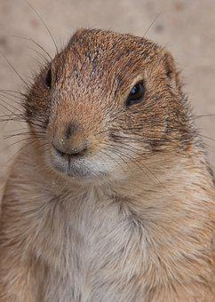 Nager, Marmot, Wilderness, Rodent, Cute, Furry, Nature