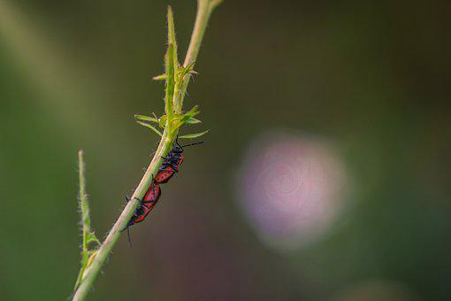 Beetle, Fire Beetle, Two, Nature, Insect, Red, Close Up