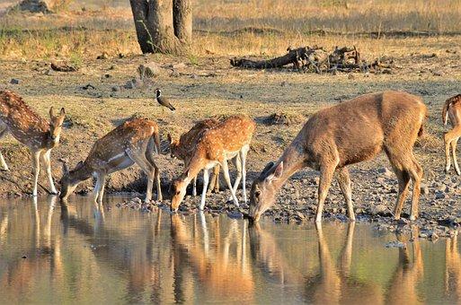 Wildlife, Ranthambore, Nature, Waterhole, Forest, India