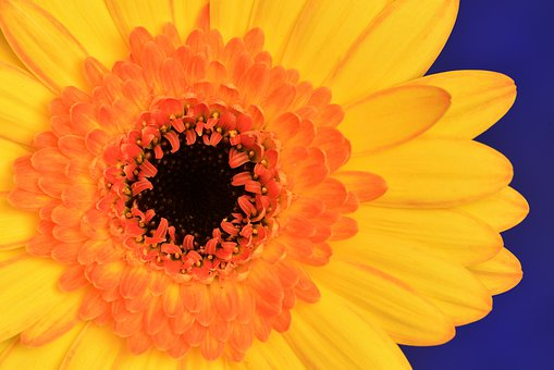 Flower, Orange, Yellow, Bloom, Nature, Blossom, Garden