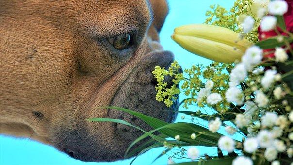 French Bulldog, Taster, Flowers, Head, Fur, Eyes, Nose