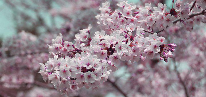 Cherry, Blossom, Pink, Tree, Branch, Flowers, Bloom