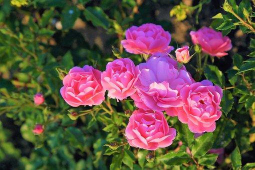 Rose, Nature, Spring, Pink, Green, Flower, Plant