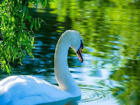 Swan, Lake, Pond, Water, Nature, White, Bird, Plumage