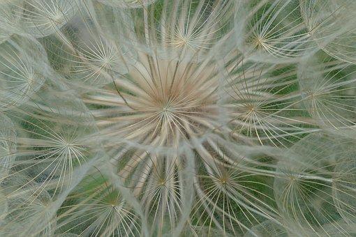 Dandelion, Filigree, Pointed Flower, Flying Seeds